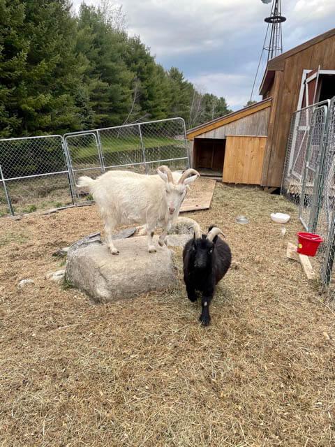 Goat at Ephphatha Farm playing